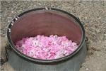 مردم مراقب مخلوط کردن اسانسهای مصنوعی در گلاب طبیعی باشند